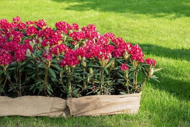 Lentebloemen van de rododendron soort. lentebloemen staan in een sierpot in een bloembed. Premium Foto