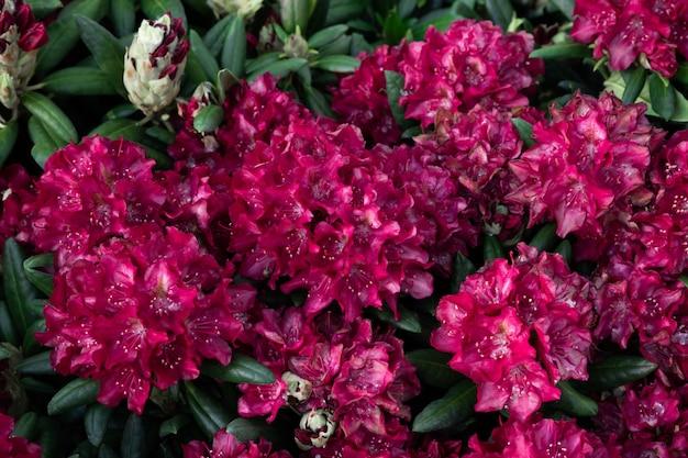 Lentebloemen van de rododendronsoort. mooie bloemen in de bloembedclose-up. Premium Foto