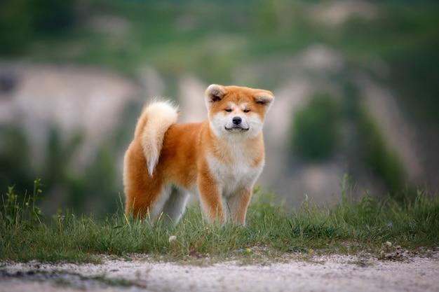 Leuk akita inu-puppy op een gang Premium Foto