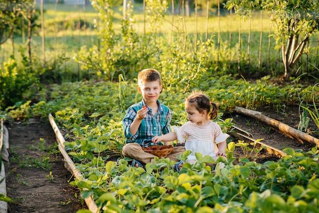 Leuk en gelukkig broertje en zusje van voorschoolse leeftijd verzamelen en eten rijpe aardbeien in de tuin op een zonnige zomerdag. gelukkige jeugd. gezond en milieuvriendelijk gewas. Premium Foto