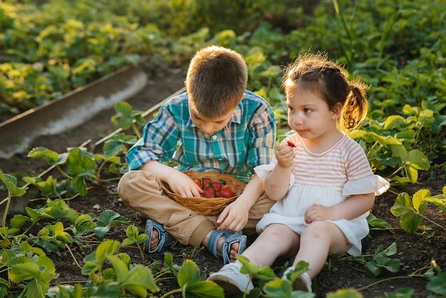 Leuk en gelukkig broertje en zusje van voorschoolse leeftijd verzamelen en eten rijpe aardbeien in de tuin op een zonnige zomerdag. Premium Foto