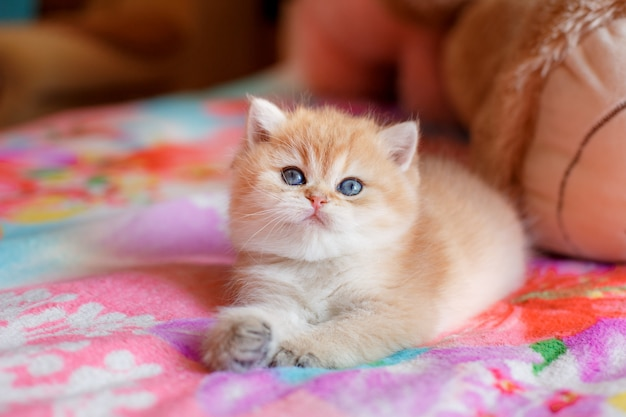 Leuk katje britse gouden chinchilla ligt op de bank Premium Foto