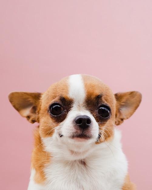 Leuk portret van een chihuahua-rassenhond op roze achtergrond Gratis Foto