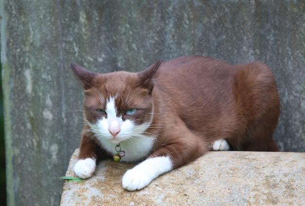 Leuke bruine kat en blauwe ogenontspanning op cementpijp Premium Foto
