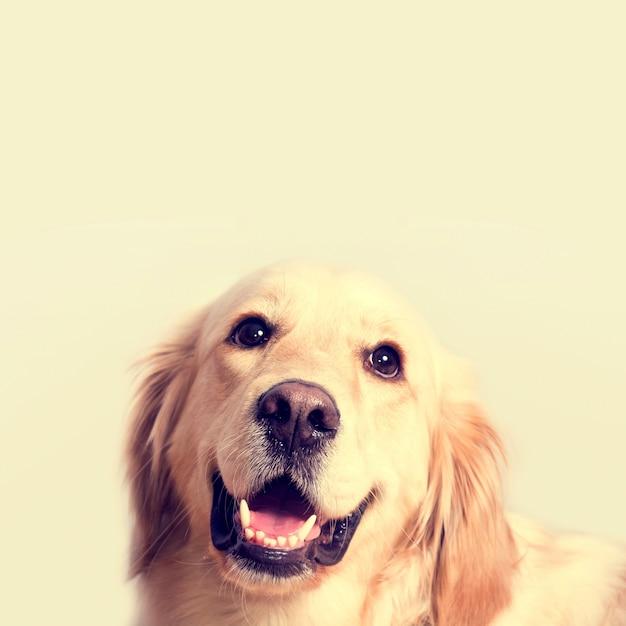 Leuke golden retriever hond. Gratis Foto