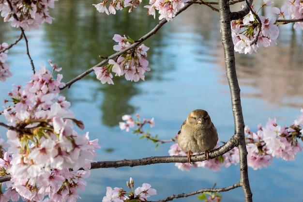 Leuke huismus neergestreken op een boomtak met prachtige bloemen van de kersenbloesem Gratis Foto