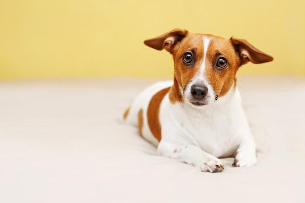 Leuke jack russell-hond die op bed liggen en in camera kijken. Premium Foto