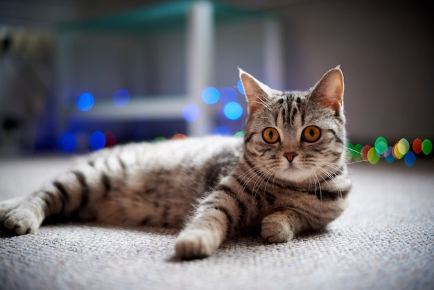 Leuke kat die op de vloer op een vage achtergrond met bokeh ligt. Premium Foto