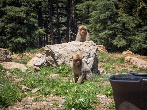 Leuke macaca sylvanus berber monkey spelen in de buurt van rotsformaties in marokko Gratis Foto