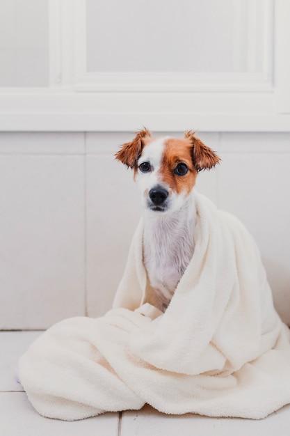 Leuke mooie kleine hond nat in badkuip. jonge vrouweneigenaar die haar hond thuis droog krijgt Premium Foto