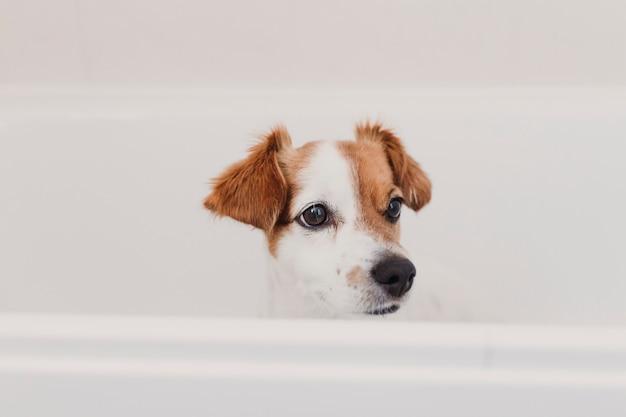 Leuke mooie kleine hond nat in badkuip. jonge vrouweneigenaar die haar hond thuis schoon krijgen Premium Foto