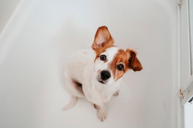 Leuke mooie kleine hond nat in badkuip klaar om schoon en droog huis te worden. huisdieren binnenshuis Premium Foto