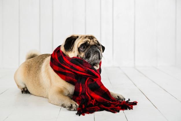 Leuke mopshond die geruite sjaal draagt Gratis Foto