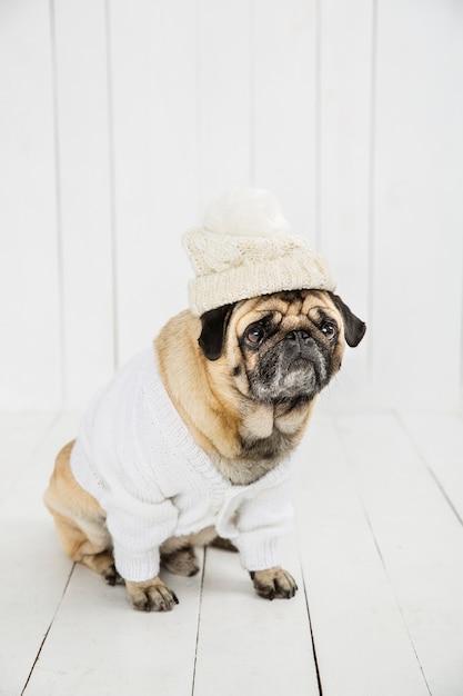 Leuke mopshond die witte sweater en hoed draagt Gratis Foto