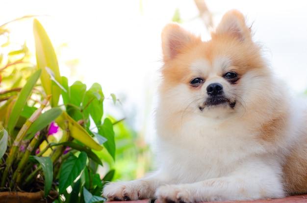 Leuke pommeren hond ontspannen op groen gras, Premium Foto