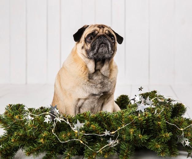 Leuke pug dichtbij de decoratie van pijnboomtakken Gratis Foto