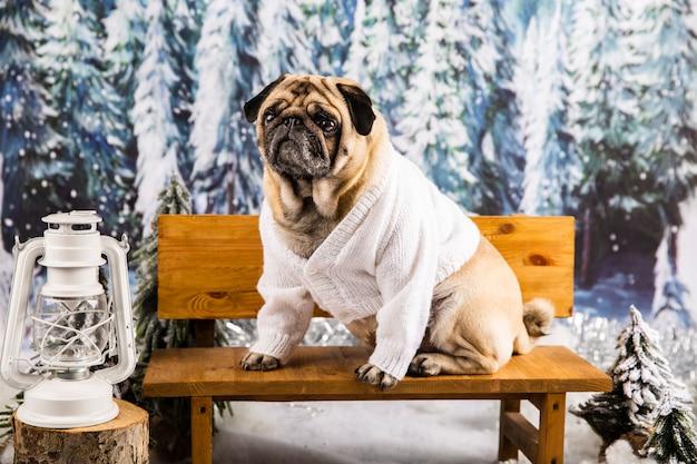 Leuke pug in sweater op bank Gratis Foto
