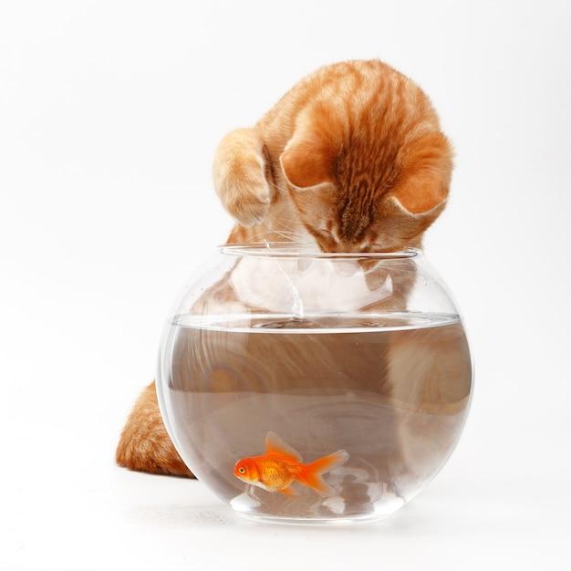 Leuke rode kattenspelen met een gouden decoratieve vis in een rond aquarium. Premium Foto