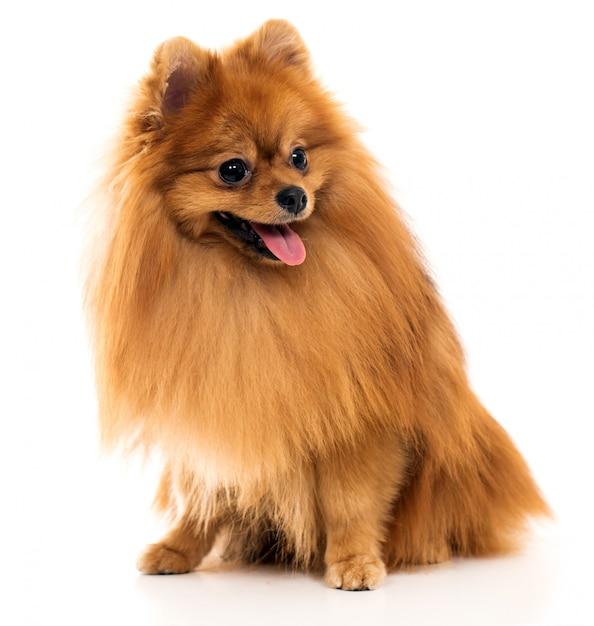 Leuke spitz hond Gratis Foto