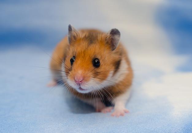 Leuke uiterst kleine syrische hamster op een heldere blauwe achtergrond Premium Foto
