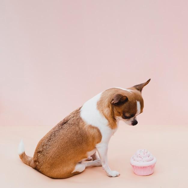 Leuke zittingschihuahua met roze cupcake Gratis Foto