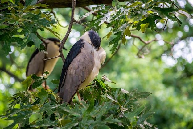 Leuke zwart-bekroonde nachtreiger zat op een boomtakken Gratis Foto