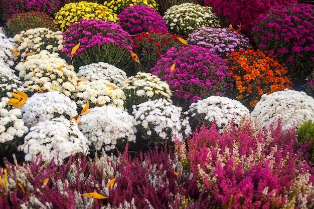 Levendige kleurrijke herfst bloemen in de openlucht bloemenmarkt. Premium Foto