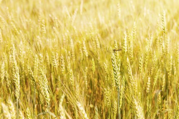 Libel dichte omhooggaand op een aartje van tarwe in de stralen van de de zomerzon. zon schijnt op tarwe. Premium Foto