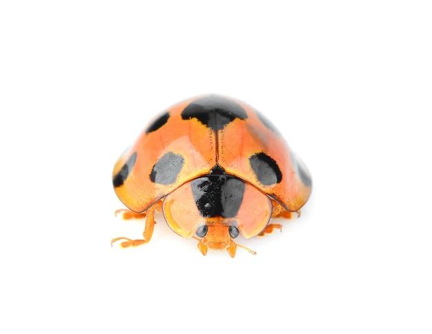 Lieveheersbeestje geïsoleerd op een witte achtergrond. Premium Foto