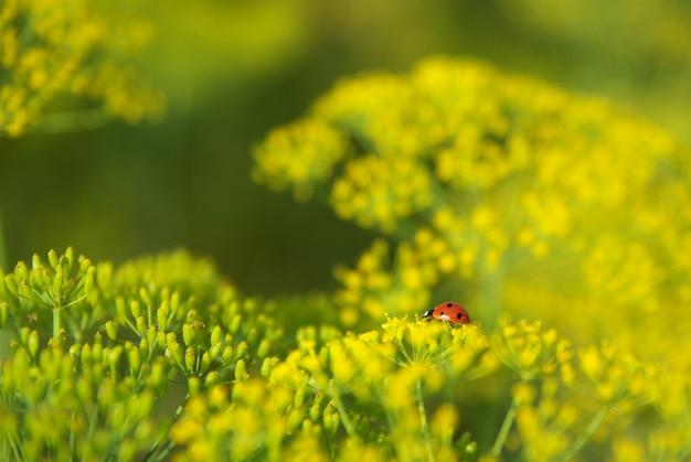 Lieveheersbeestje op dille Premium Foto