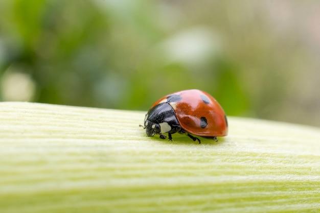 Lieveheersbeestje op een blad van maïs Premium Foto