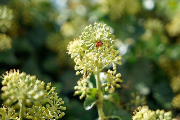 Lieveheersbeestje op een tak van engelwortel Premium Foto