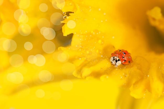 Lieveheersbeestje op gele narcissen Premium Foto