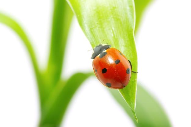 Lieveheersbeestje op gras Premium Foto