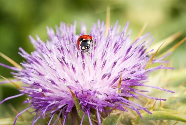 Lieveheersbeestje op mooie bloem ptilostemon niveus. madonie, sicilië Premium Foto