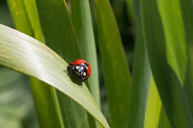 Lieveheersbeestje zittend op een groen blad achter vele anderen Gratis Foto