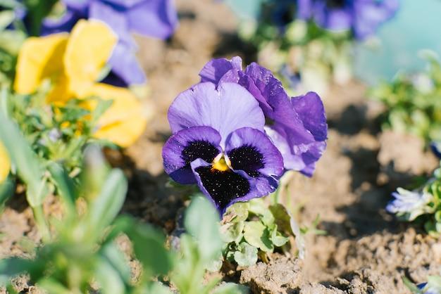 Lila paarse bloem viooltjes bloeit in het voorjaar in de tuin op een zonnige heldere dag Premium Foto