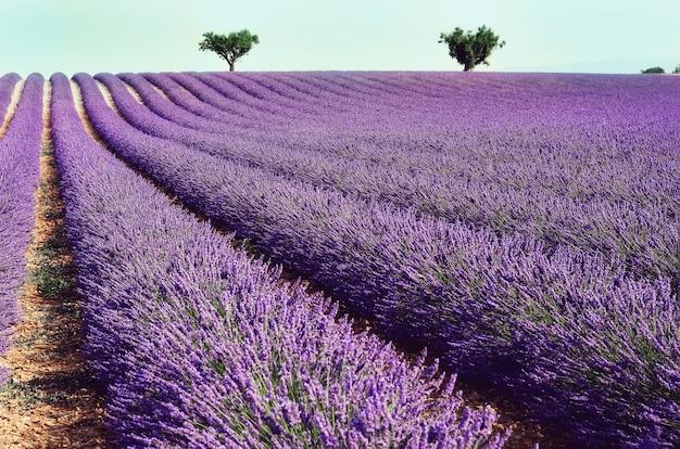 Lilac lavendelgebied, de zomerlandschap dichtbij valensole in de provence, frankrijk. aard met exemplaarruimte. Premium Foto