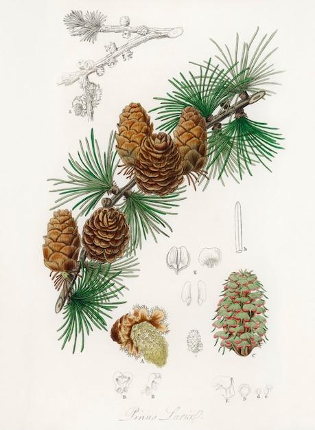 Linus larix illustratie van medical botany (1836) Gratis Foto