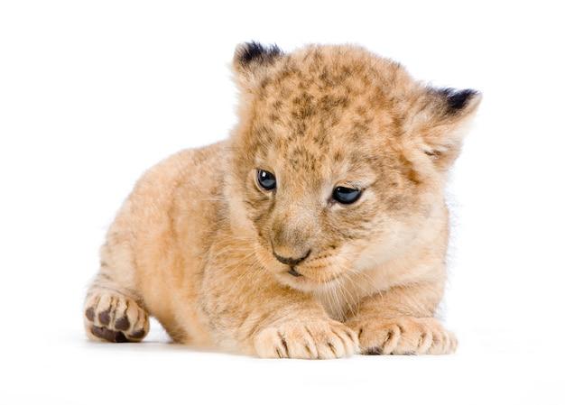Lion cub (3 weken) geïsoleerd liggen. Premium Foto