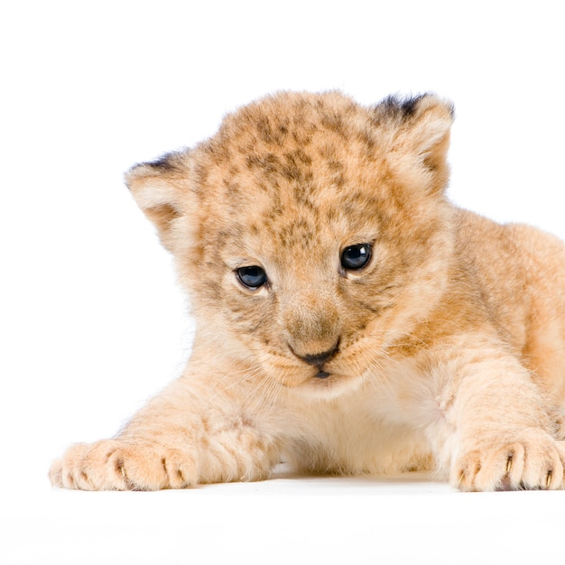 Lion cub geïsoleerd liggen. Premium Foto