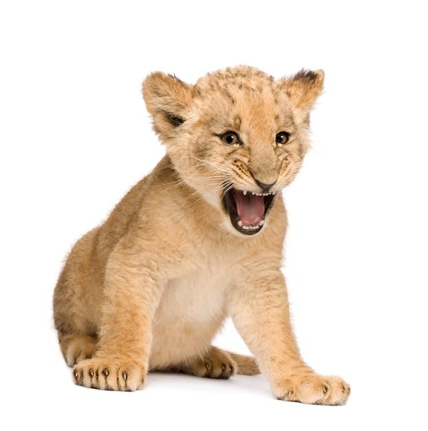 Lion cub op een geïsoleerd wit Premium Foto