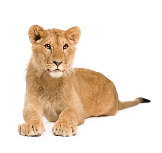 Lion cub vooraan op een geïsoleerd wit Premium Foto
