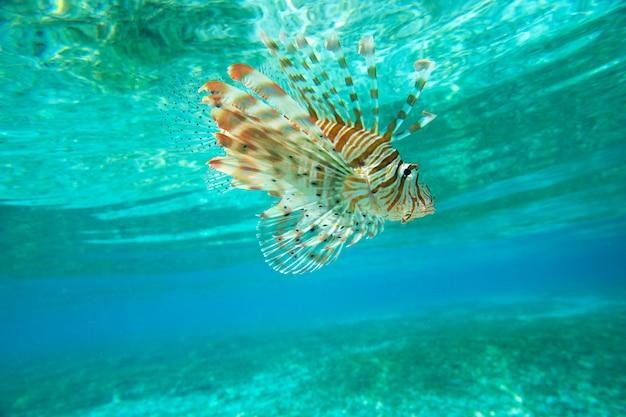 Lion vis zwemmen onder water Premium Foto