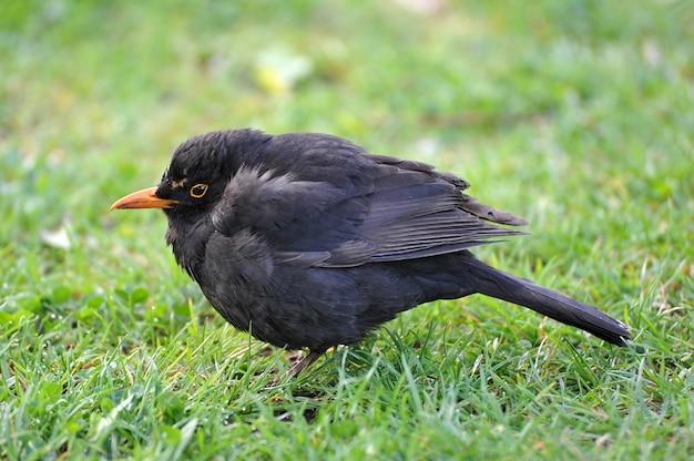 Little blackbird met een oranje snavel op het groene gras Premium Foto