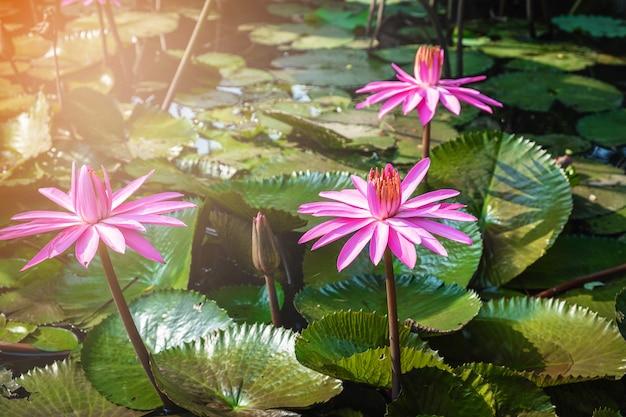 Lotus-bloem in de vijver Premium Foto