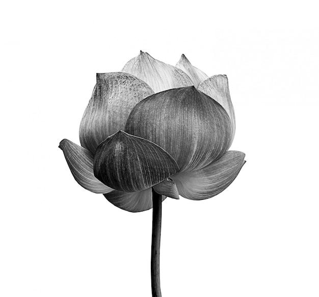 Lotus-bloem in zwart-wit op witte ruimte wordt geïsoleerd die Premium Foto