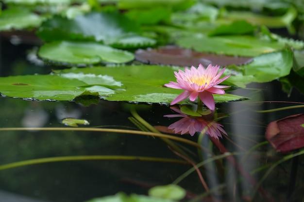 Lotus-bloemen in natuurlijke vijvers Premium Foto