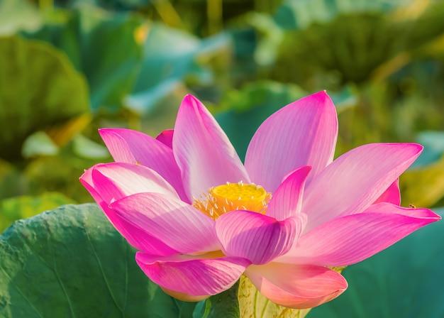 Lotus is bloeiend en het ochtendlicht Premium Foto