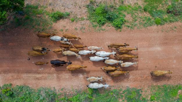 Luchtfoto bovenaanzicht van de massa's van vele koeien lopen op het platteland, thailand Premium Foto